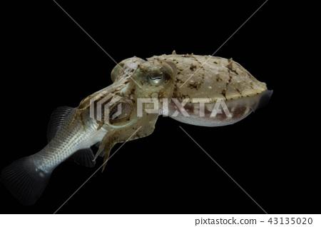 Cuttlefish eating fish  43135020