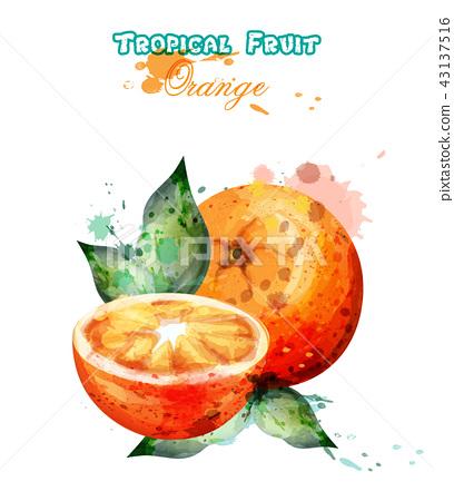 Orange fruit watercolor Vector. Juicy colorful 43137516