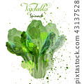 Spinach salad leaves watercolor Vector 43137528