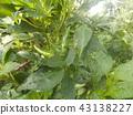 hot pepper, capsicum, unripe 43138227