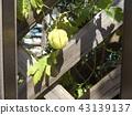 balloon vine, fruit, light green color 43139137