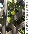 balloon vine, fruit, light green color 43139141