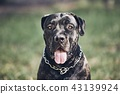 Portrait of cane corso dog 43139924