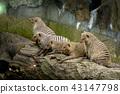 Mongoose looking at something 43147798
