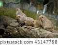 mongoose, animal, animals 43147798
