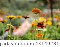 beautiful blooming Gerbera Daisy flowers 43149281