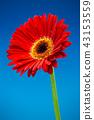 거베라, 꽃, 플라워 43153559