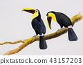 Bird Chesnut-mandibled Toucan sitting 43157203