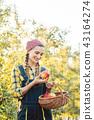 Fruit farmer woman harvesting apples in her basket 43164274