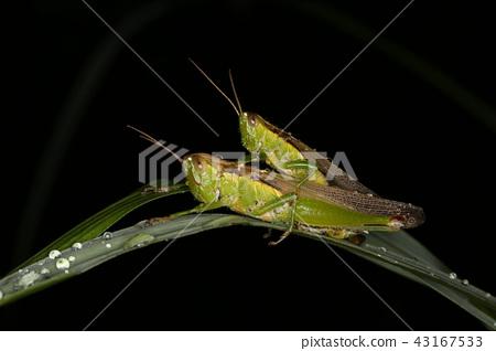 交配蝗蟲 43167533