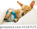 dog  sleeping or dreaming in bed 43167575