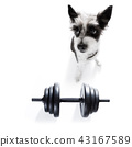 dog  with dumbbell 43167589