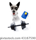 dog  with dumbbell 43167590