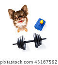 dog  with dumbbell 43167592
