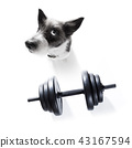 dog  with dumbbell 43167594