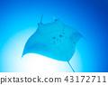 魟魚 黃貂魚 海底的 43172711