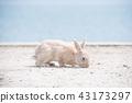 토끼, 동물, 오오쿠노시마 43173297