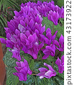 시클라멘, 꽃, 플라워 43173922