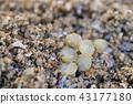 孵化馬蹄蟹 43177180