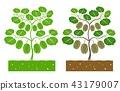 kiwi plant 43179007