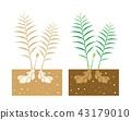 ginger plant 43179010