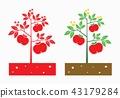 tomato plant 43179284