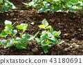 콩 밭 43180691