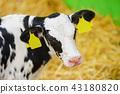 calf 43180820