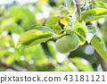 成熟前的柿子 43181121
