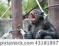 黑猩猩 動物 動物園 43181897