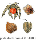 Watercolor physalis fruit  set  isolated on white 43184883