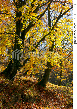 golden foliage in the forest 43188974