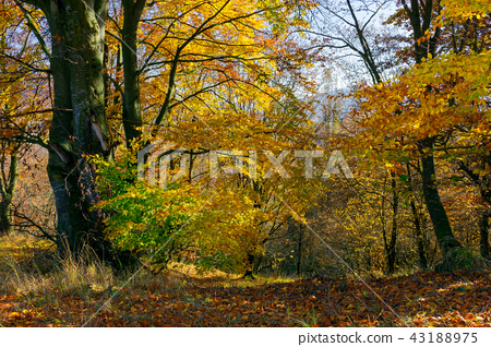 golden foliage in the forest 43188975