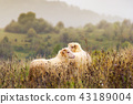 portrait of ram and sheep in fog 43189004