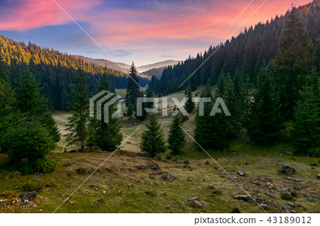 spruce forest in foggy valley at reddish sunrise 43189012