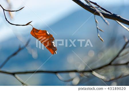last leaf on the tree 43189020