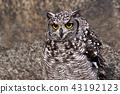 非洲歐洲產之大雕貓頭鷹 43192123