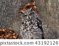 非洲歐洲產之大雕貓頭鷹 43192126