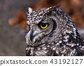 非洲歐洲產之大雕貓頭鷹 43192127