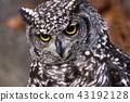 非洲歐洲產之大雕貓頭鷹 43192128