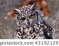非洲歐洲產之大雕貓頭鷹 43192129