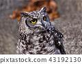 非洲歐洲產之大雕貓頭鷹 43192130