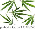 Leaves of hemp on white background 43193052