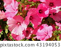 gladiolus 43194053