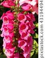 digitalis, foxglove, bloom 43194494