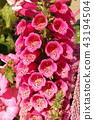 digitalis, foxglove, bloom 43194504
