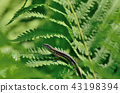 蜥蜴 蝎虎天體 日本草蜥 43198394