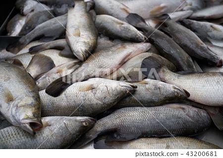 澳洲肺魚 43200681