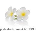 Frangipani flower 43203993
