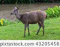 Wild deer in Thailand national park. 43205456